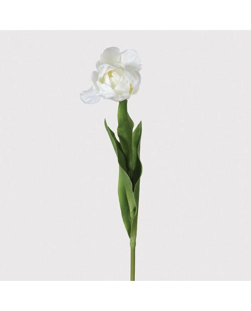 Balta tulpė